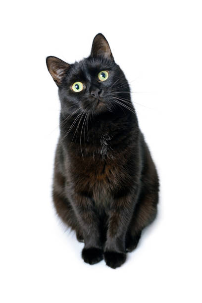 Black cat is sitting on a white background picture id909695260?b=1&k=6&m=909695260&s=612x612&w=0&h=uuui3rkilbi suywouyiizhad4okp97scbngkvfwzrk=