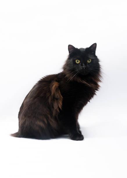Black cat isolated on white background clipping path copy space for picture id1125967531?b=1&k=6&m=1125967531&s=612x612&w=0&h=qsmre5nahgs1dss5kwudd8b6oimgwrcpv5m2wtzq oq=