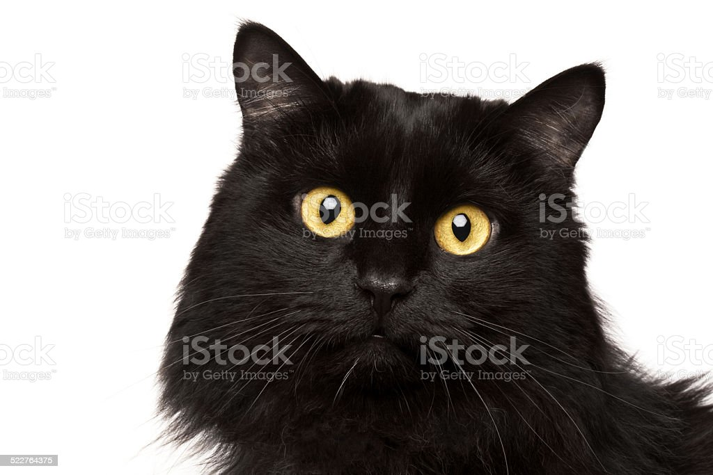 Black cat isolated on white stock photo
