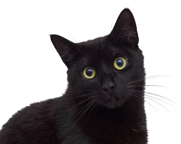 Black cat isolated on white sitting and looking at you picture id821504674?b=1&k=6&m=821504674&s=612x612&w=0&h=odzhtglllomdkcvti5jqrvayrjg8mw52ioqvqaqp 6a=