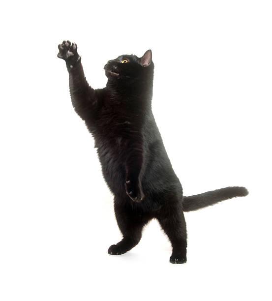 Black cat jumping and playing picture id153158352?b=1&k=6&m=153158352&s=612x612&w=0&h=oduoth1fphrmzfkfvkh1uhvlffwke7a r0yze1uxztq=