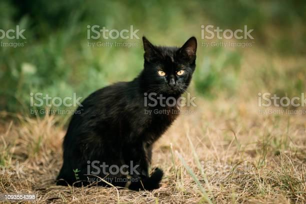 Black cat kitten at grass outdoor picture id1093554398?b=1&k=6&m=1093554398&s=612x612&h=i3pwc3x2xwpvdqtnczda0r84cf4xami mfgtaca mri=
