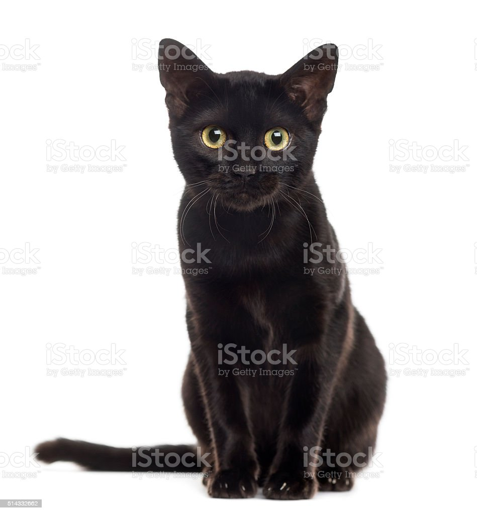 Black cat kitten looking at the camera, isolated on white stock photo