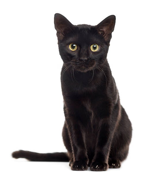 Black cat kitten looking at the camera, isolated on white Black cat kitten looking at the camera, isolated on white black cat stock pictures, royalty-free photos & images