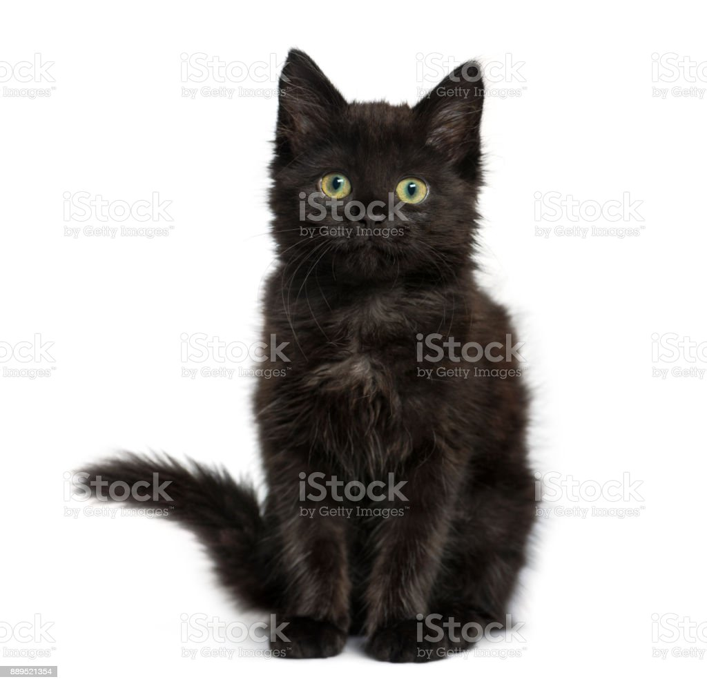 Black cat kitten sitting and looking at the camera, isolated on white stock photo
