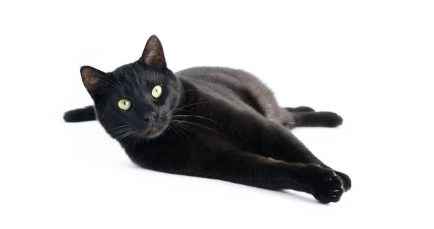 Black cat laying down on white background picture id660225922?b=1&k=6&m=660225922&s=612x612&w=0&h=smdh yvh1hjepah5vlwt2p4xajjeqybwatutfbejlea=
