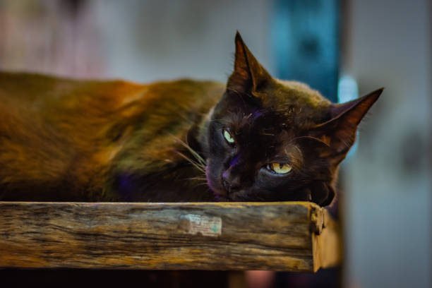 Black cat lies on a wooden bench and with dreamy eyes looks into the camera, has yellow-green eyes – zdjęcie
