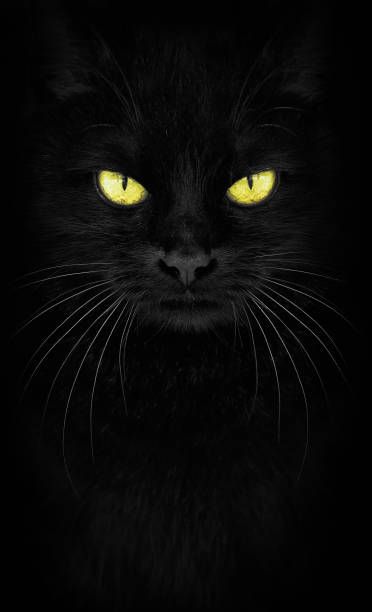 Black cat looking at the camera closeup cat portrait fiery glance picture id962891822?b=1&k=6&m=962891822&s=612x612&w=0&h=eoffok gfxhxfardwfq2b pckaqwfoa0ttsu63monzw=