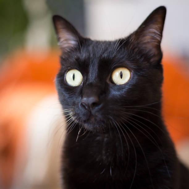 Black cat looking surprised or shocked picture id1133083003?b=1&k=6&m=1133083003&s=612x612&w=0&h=oyknceqnysqemznsdbmn9vwluhyho2bulm1w5q3rpam=