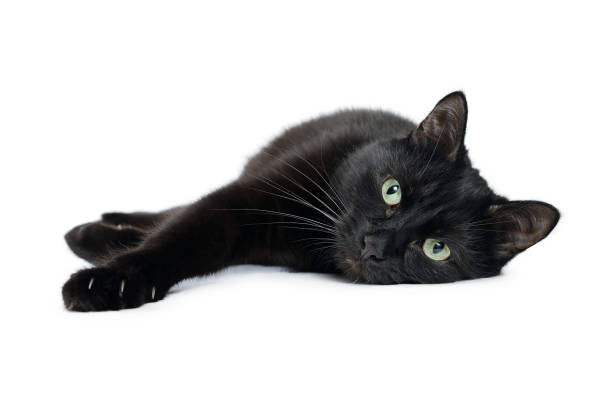 Black cat lying on its side on a white background Black cat is lying on its side with its front paws stretched out and looking at the camera, isolated on a white background black cat stock pictures, royalty-free photos & images