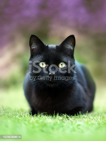 istock Black cat lying on the grass in the garden against purple flowers 1029265614