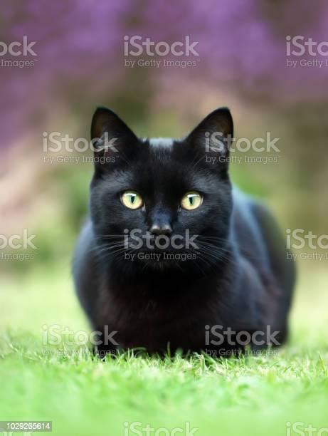 Black cat lying on the grass in the garden against purple flowers picture id1029265614?b=1&k=6&m=1029265614&s=612x612&h=huzrwsrbz6yz9k4i4d3fra2xhs5swu0gdqgdwopqpui=