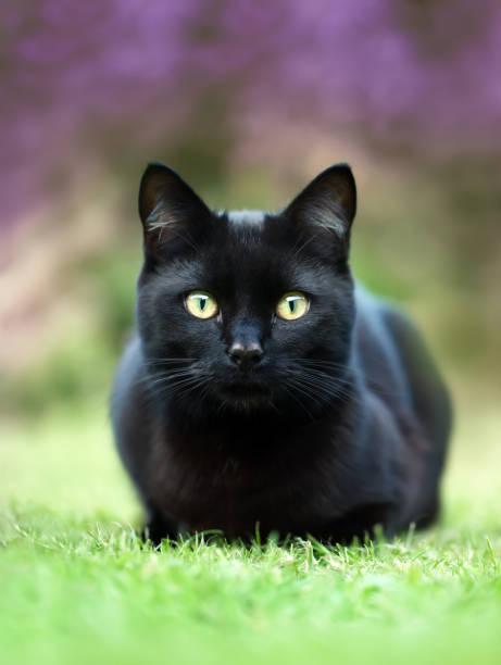 Black cat lying on the grass in the garden against purple flowers picture id1029265614?b=1&k=6&m=1029265614&s=612x612&w=0&h=aznhj6x v1zapzt3x4jiuhwntzdlzfq1ysbjm1p42ug=