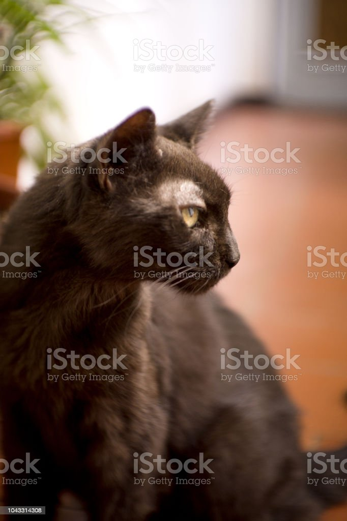 Black cat of 17 years with diabetes. No people stock photo