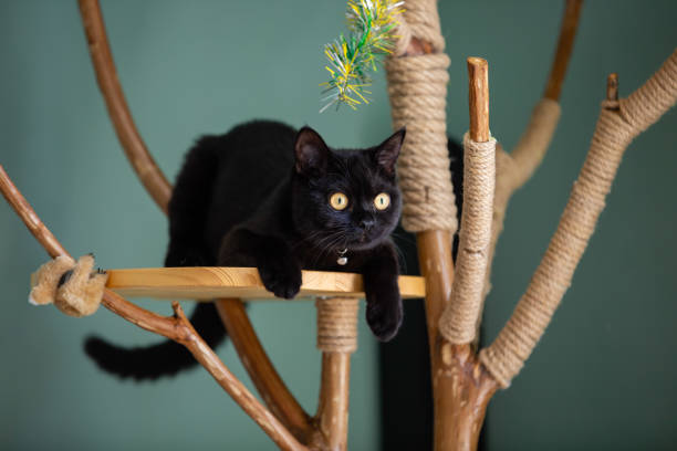 Black cat on a hand made cat tree Black cat hunting on a hand made cat climbing tere black cat stock pictures, royalty-free photos & images