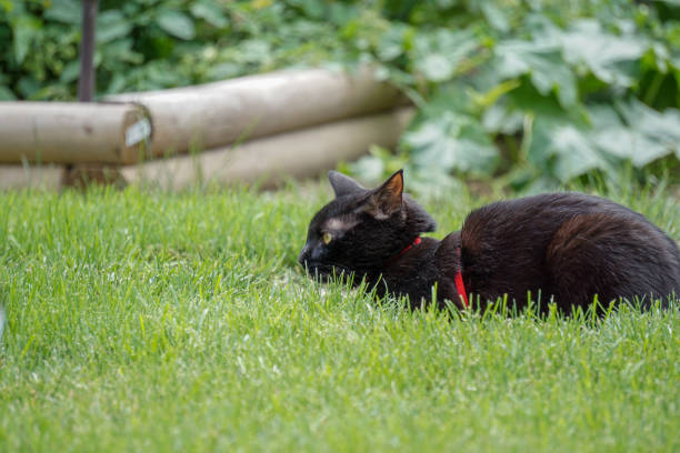 Black cat on a harness outside stock photo