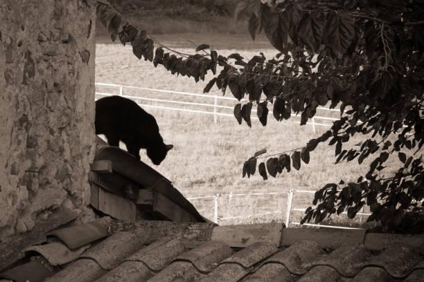 Black cat on a roof picture id885929328?b=1&k=6&m=885929328&s=612x612&w=0&h=5dagrukeegsqg2su6auqq5oqmf6 0bewgoeamfe7ckg=