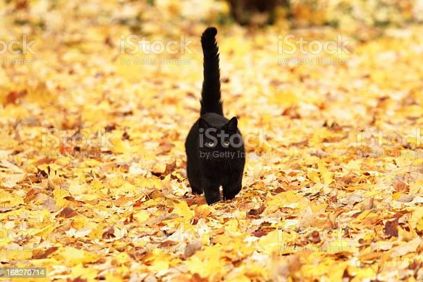 Black cat on autumn yellow leaves picture id168270714?b=1&k=6&m=168270714&s=612x612&h=utwgzq y71uxoz0cpspdnhlmdgxgmgk9ilwwyqgdscy=