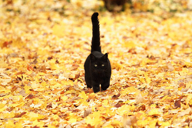 Black cat on autumn yellow leaves picture id168270714?b=1&k=6&m=168270714&s=612x612&w=0&h=1nq0ie573uzc4y89kbt0blwjhprnmvell zvergylp0=