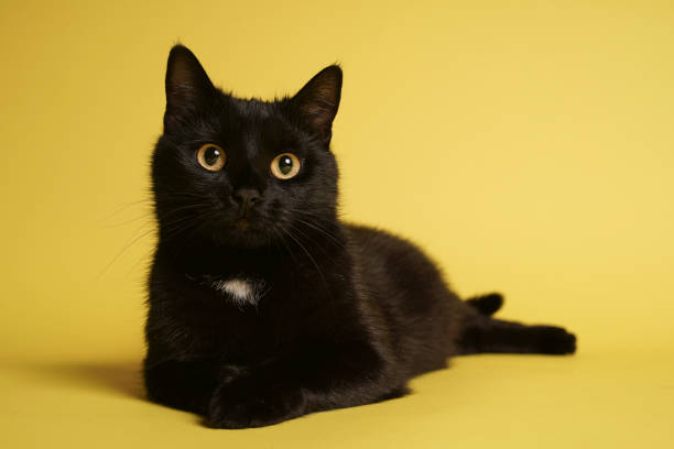 Black cat on blue background. Friday the 13th Stock photo black cat stock pictures, royalty-free photos & images
