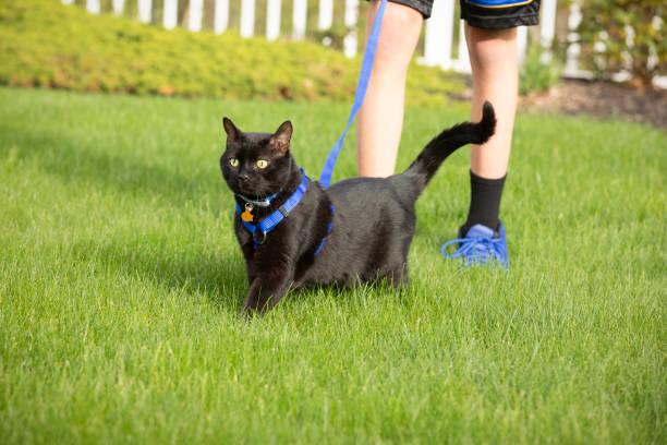 black cat on leash - katzengeschirr stock-fotos und bilder