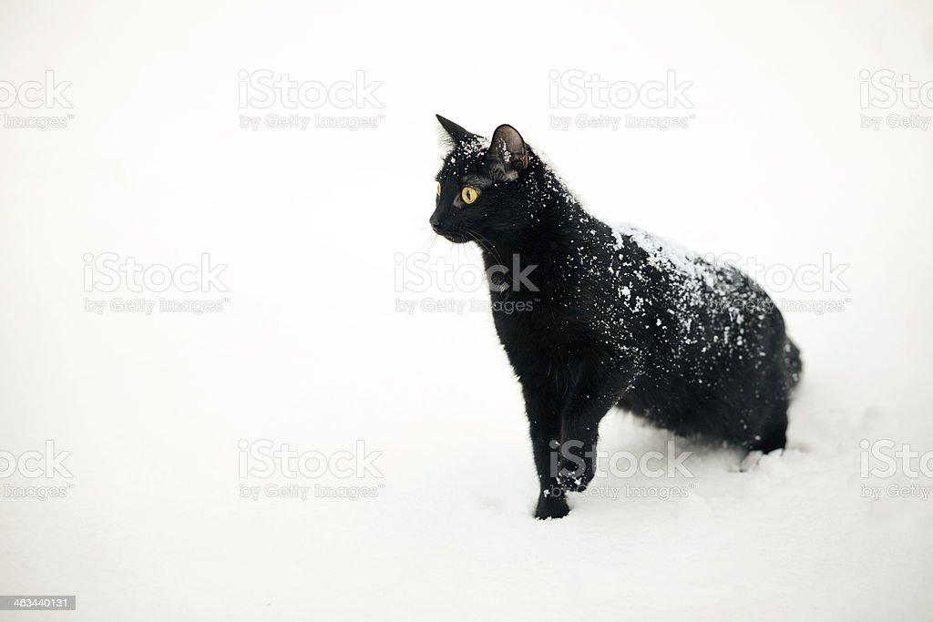 black cat on snow stock photo