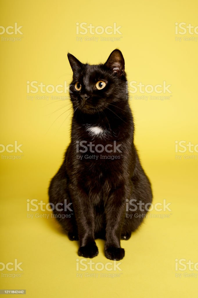 Black Cat On Yellow Background Friday 13th Stock Photo Download Image Now Istock