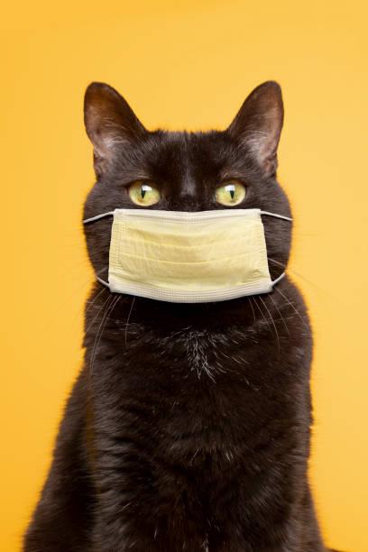 Black Cat on Yellow Wearing Face Mask stock photo