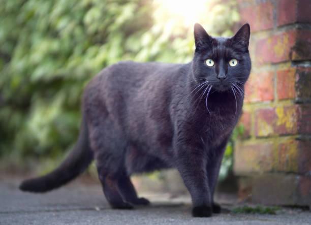 Black cat outdoor close up picture id675685412?b=1&k=6&m=675685412&s=612x612&w=0&h=rz0fibs0bjb7rlyzqbtkqoqulxn5jzsimmijfh95u2u=