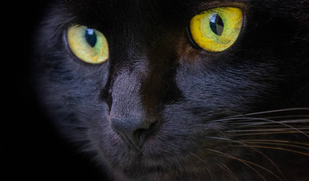 Black cat Beautiful black cat with blue eyes black cat stock pictures, royalty-free photos & images