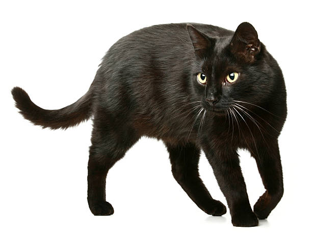Black cat picture id182773723?b=1&k=6&m=182773723&s=612x612&w=0&h=suydpxxqrpgjmg2s2frkzxlktz3htug9wm3qthpujcy=