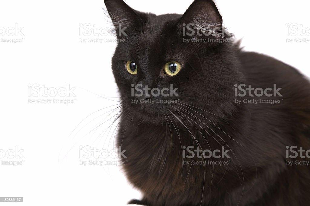 Negro cat foto de stock libre de derechos