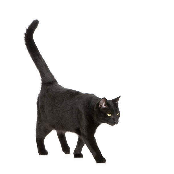 Black cat  black cat stock pictures, royalty-free photos & images