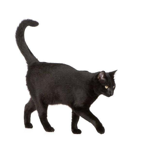 Black cat picture id93213715?b=1&k=6&m=93213715&s=612x612&w=0&h=qfw1nr4hwuyk0g8tfgmwmbaj3uber5j61xl8dkfkm0i=
