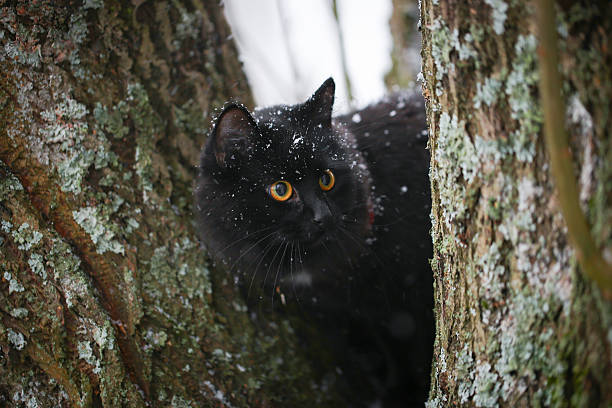 Black cat playing in winter picture id530585247?b=1&k=6&m=530585247&s=612x612&w=0&h=tgfhptxx06ol5efs3d4ih5mvzfnpazvvk8lyb6di9ba=