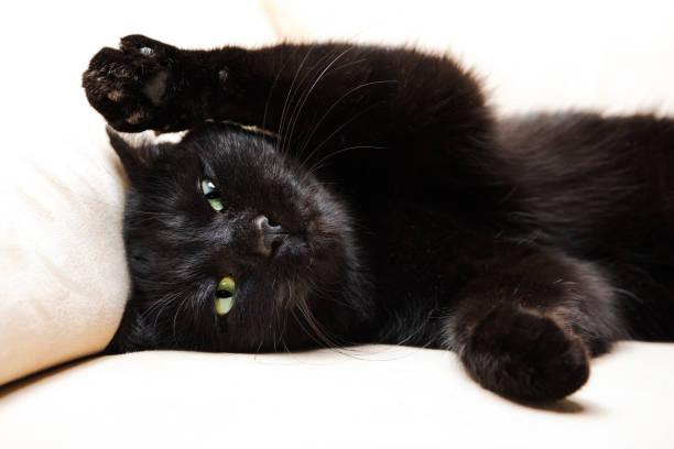 Black cat portrait picture id643106728?b=1&k=6&m=643106728&s=612x612&w=0&h=gir4poe2 ipacygn7qse51t ktjn7naaz zf0zdtiu8=