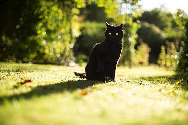 schwarze katze posen geheimnisvoll im sommer - schwarzer puma stock-fotos und bilder