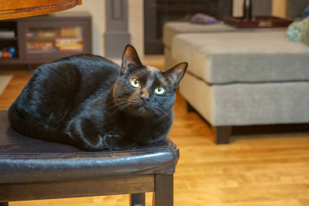 Black cat relaxing inside a house. stock photo