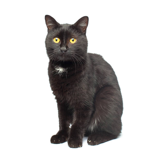 Black Cat sitting and looking at the camera, isolated on white Black Cat sitting and looking at the camera, isolated on white black cat stock pictures, royalty-free photos & images