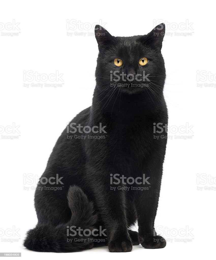 Black Cat sitting and looking at the camera, isolated stock photo