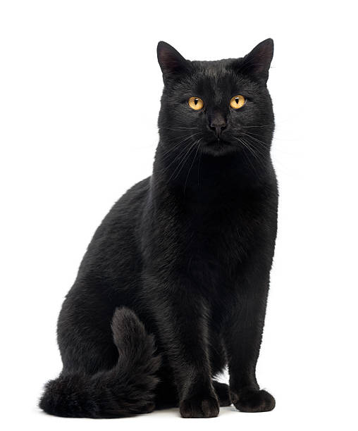 Black Cat sitting and looking at the camera, isolated Black Cat sitting and looking at the camera, isolated on white black cat stock pictures, royalty-free photos & images
