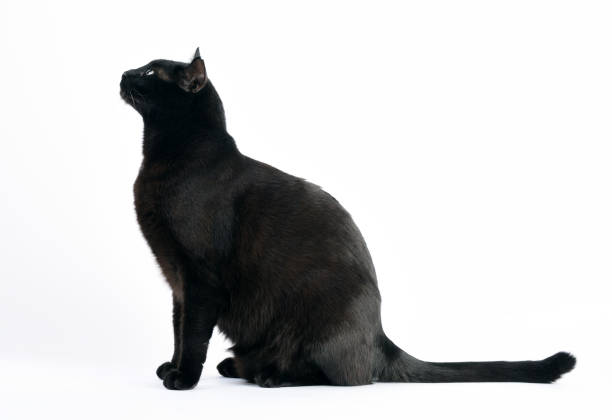 Black cat sitting and side view tailon white background picture id660288978?b=1&k=6&m=660288978&s=612x612&w=0&h=yizfa7vbmyxdqulvjs ou5jsvzd skftcm1k2vsygmm=
