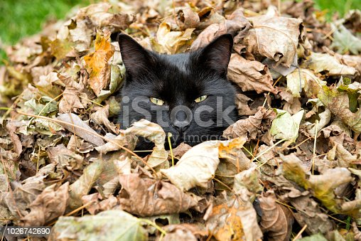 Black cat sitting in a pile of leaves