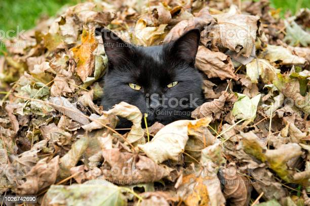 Black cat sitting in a pile of leaves picture id1026742690?b=1&k=6&m=1026742690&s=612x612&h=hj1mzht5gpfmir9jh8sw0z0q1q5xbas1lfbt7rzuuja=