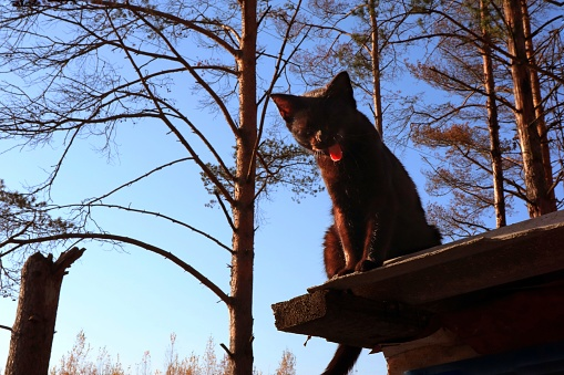 Black cat sitting on the roof and shouts showing language.