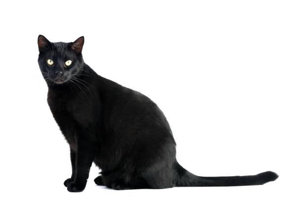 Black cat sitting on white background picture id660225964?b=1&k=6&m=660225964&s=612x612&w=0&h=yo1ryjls5trsr7ounyuk5qhuemqoe7owfb 8byfoqvu=