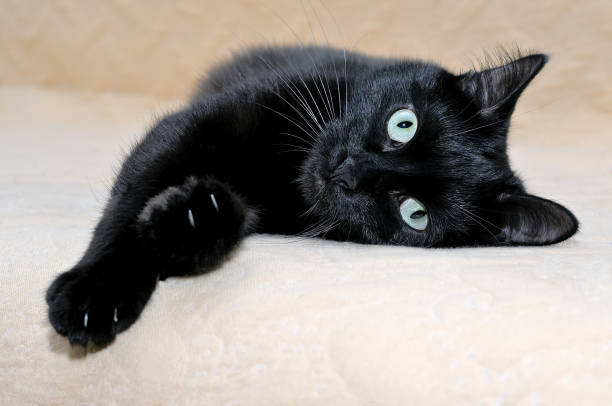 Black cat snugly lying on a plaid stretching its paws picture id1060424954?b=1&k=6&m=1060424954&s=612x612&w=0&h=vfcyiy qu2utzpboh4izk7z5vgac8bly6tardbezkbo=