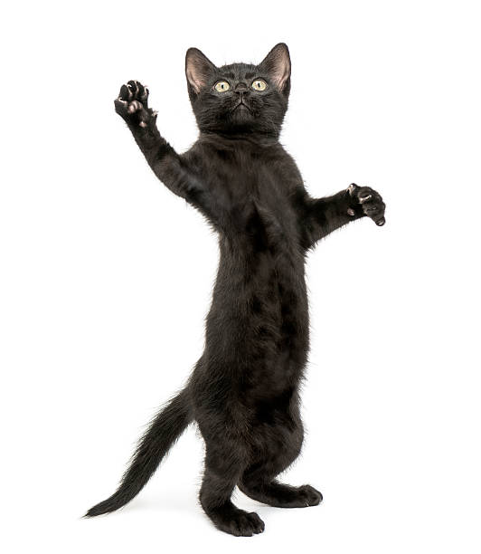 Black cat standing on its hind legs and a paw reaching up picture id464661921?b=1&k=6&m=464661921&s=612x612&w=0&h=xnldaxx3vbginulle jdfdaxvuow6rwasufmo4osiey=