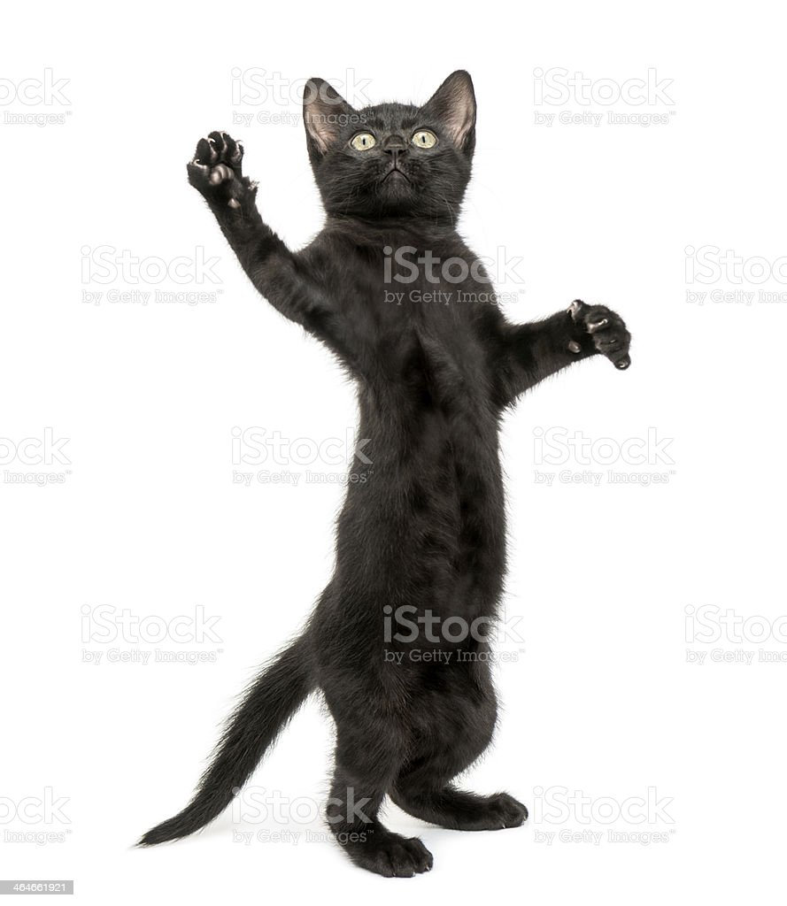 Black cat standing on its hind legs and a paw reaching up stock photo