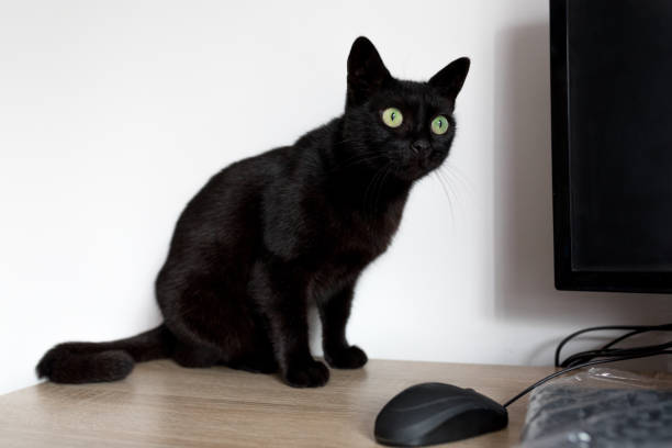 Black cat standing on the desk picture id1028748664?b=1&k=6&m=1028748664&s=612x612&w=0&h= xltwugtmonxwuytyodkvgaxxqwqa79g34y1 fpitji=